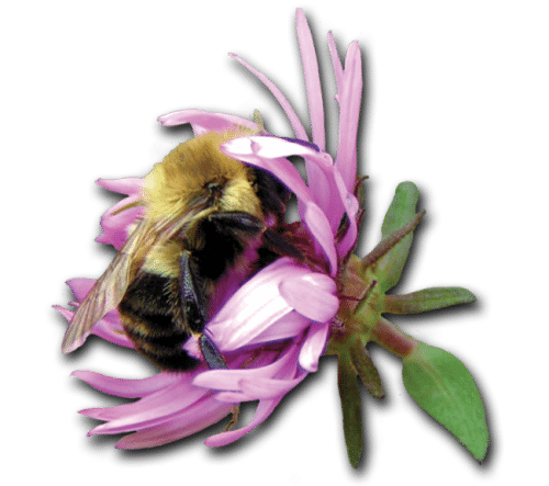 johnsons-nursery-home-knowledgebase-bee-aster2