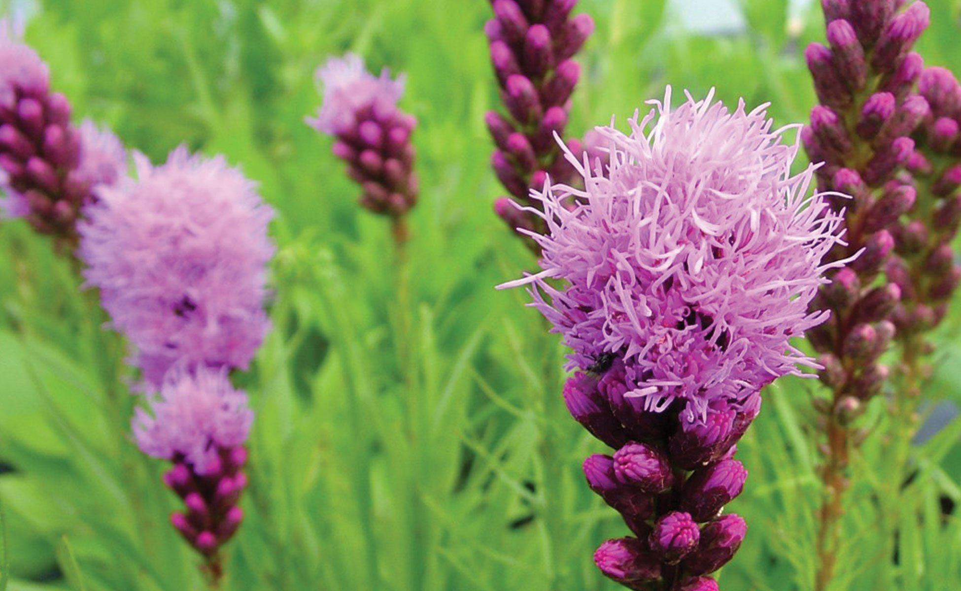 johnsons-nursery-menomonee-falls-about-liatris