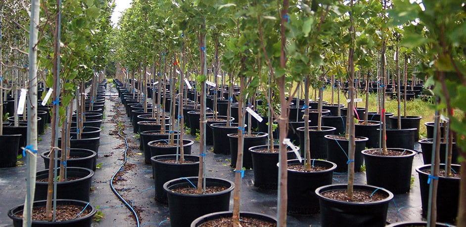 wholesale container grown trees shrubs evergreens johnson's nursery wisconsin midwest