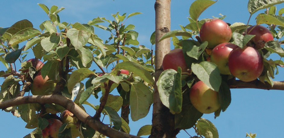 wholesale fruit trees apple trees cherry peach pear plum trees for sale in wisconsin milwaukee