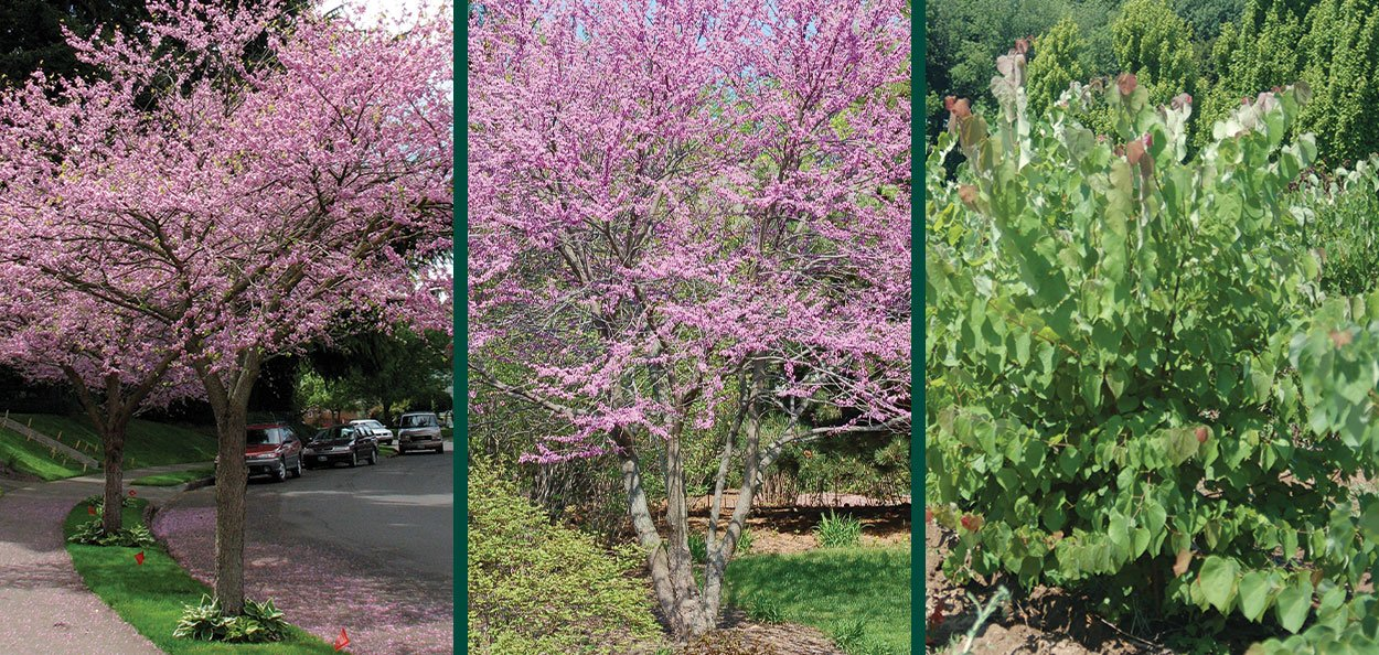 understanding nursery stock shapes single multi shrub cercis canadensis eastern redbud