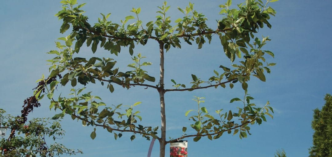 apple trees in wisconsin available at johnson's nursery in menomonee falls fruit plants training pruning
