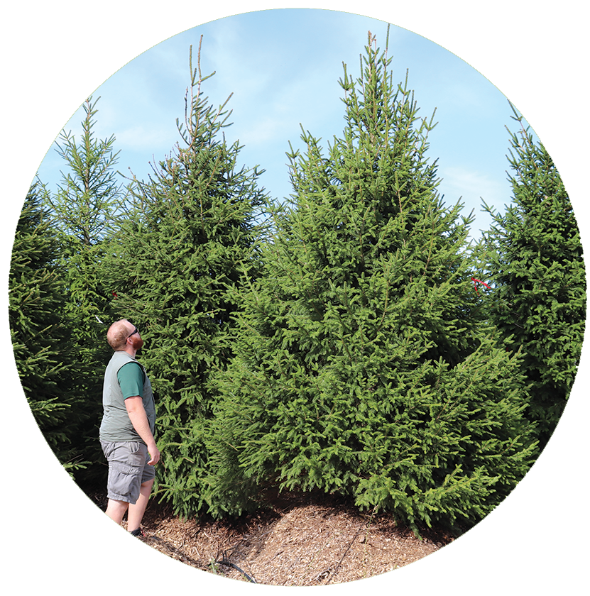 midwest wholesale plants large evergreens northern hardy picea abies