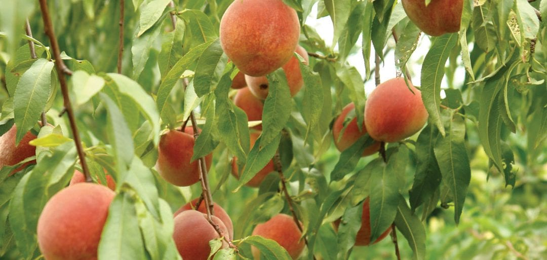 peach trees in wisconsin available at johnson's nursery in menomonee falls fruit plants for sale