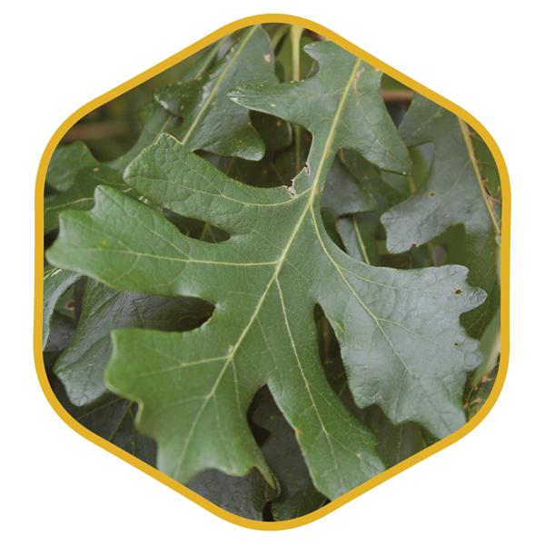 native plants of wisconsin johnson's nursery menomonee falls icon bur oak