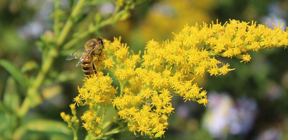 natives plants in wisconsin johnson's nursery bee on solidago