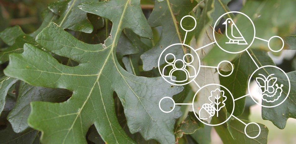 natives plants in wisconsin johnson's nursery oak leaf food web
