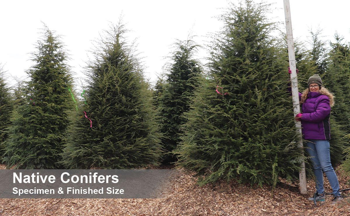 find finished size and wisconsin native evergreen conifer green screen