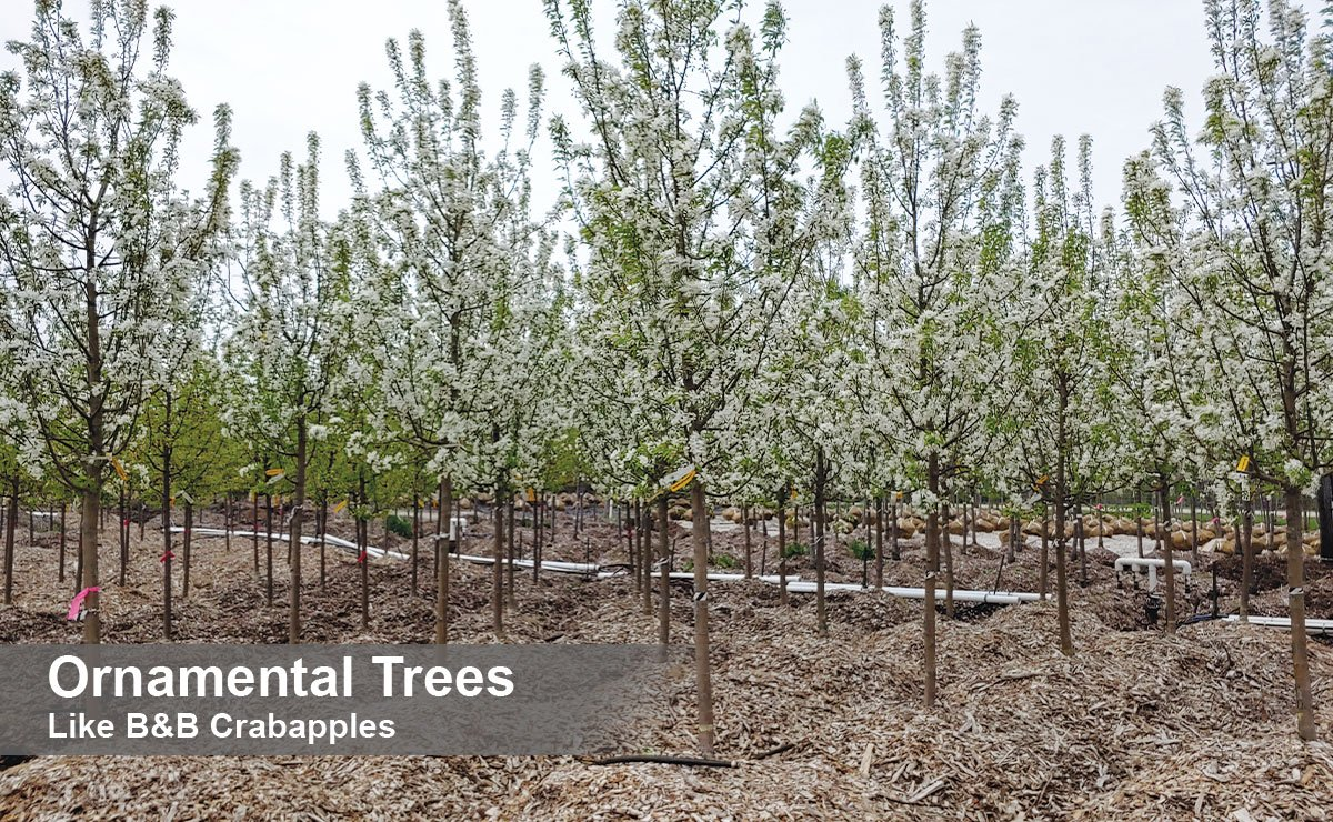 find ornamental trees crabapples for sale at johnson's nursery