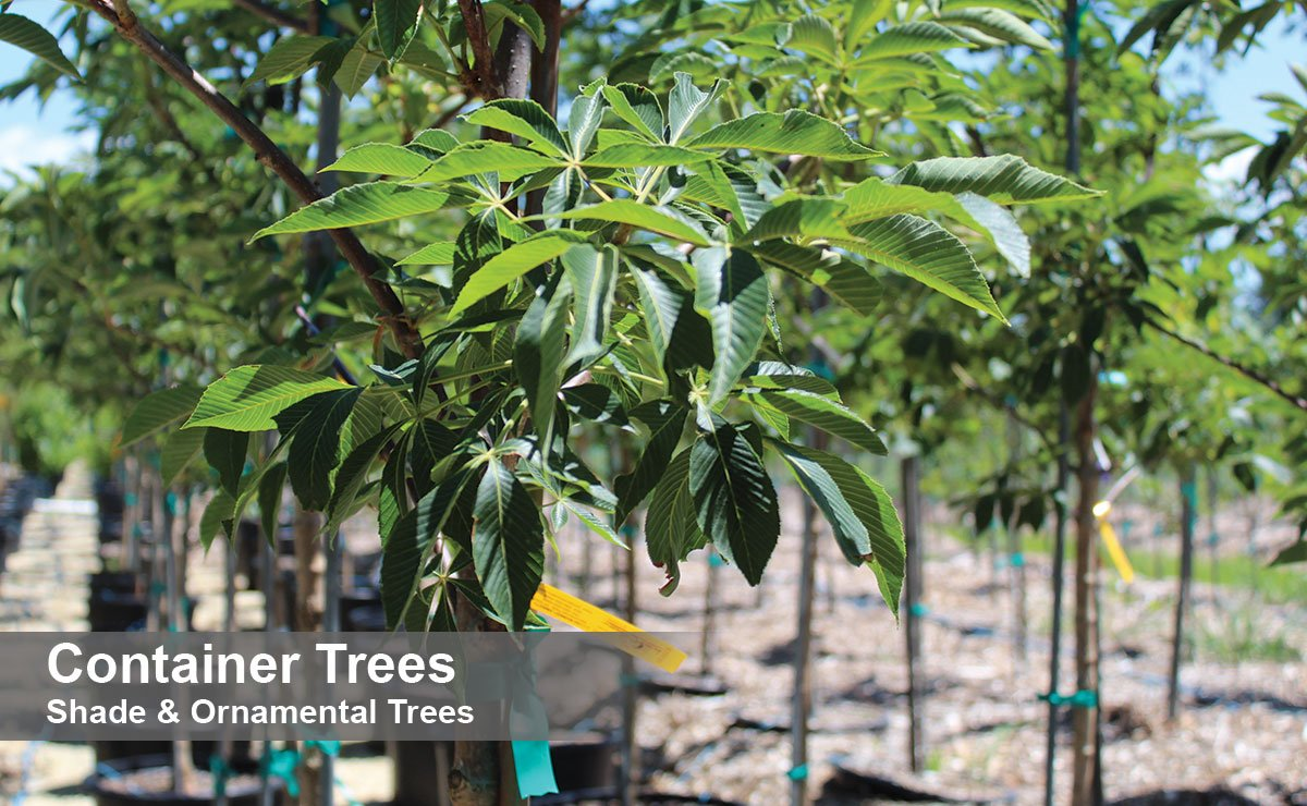 find shade ornamental container trees wisconsin buckeye for sale at johnson's nursery in menomonee falls