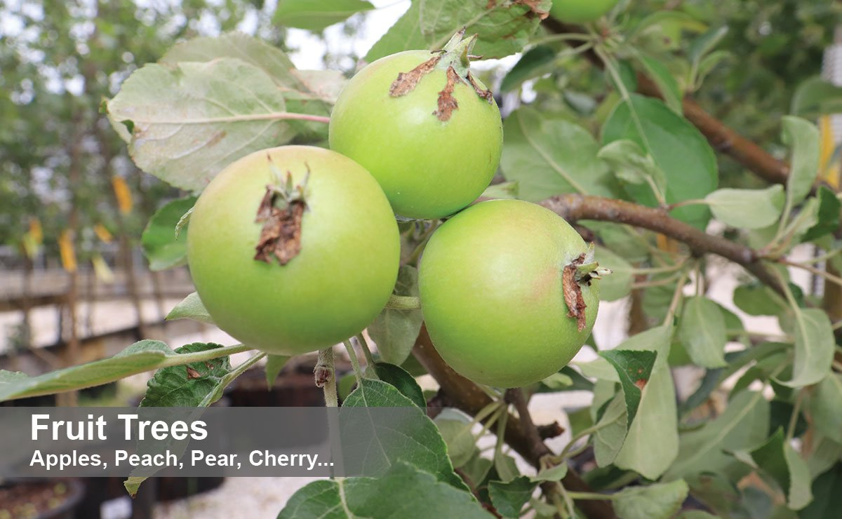find trees apple peach pear plum cherry trees for sale near me in wisconsin