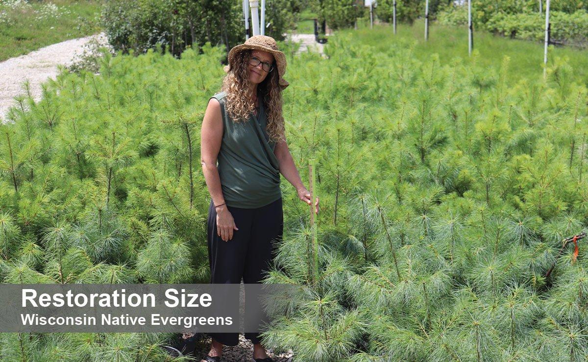 johnson's nursery plants restoration size wisconsin native evergreens for sale